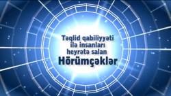Təqlid qabiliyyəti ilə insanları heyrətə salan hörümçəklər