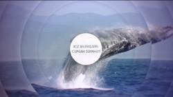 Boz balinaların cənuba səyahəti
