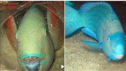 Tutuquşu balığını ölümdən qoruyan yataq torbası