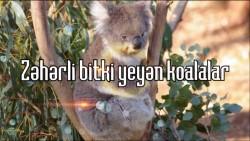 Zəhərli bitki yeyən koalalar